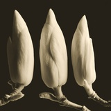 Three Magnolia Buds