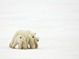 Mother and Cubs Walking