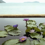 Water lilies in pond by ocean