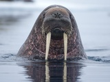 Walrus swimming Papier Photo par Paul Souders