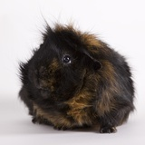 Black and tan Guinea pig