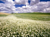 Daisies Covering a Field Under Cloudy Skies