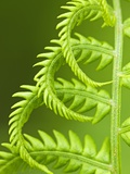 Cinnamon Fern (Osmunda Cinnamomea) Detail of Emerging Fronds  Lively  Ontario  Canada