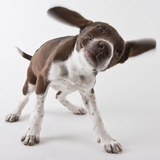 German shorthaired pointer shaking ears
