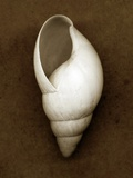 White Cornball Shell