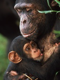 Chimpanzee Mother Nurturing Baby
