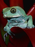Monkey Tree Frog