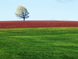 Lone Tree in Spring Field Near Sussex  New Brunswick  Canada
