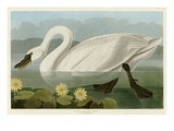 Common American Swan