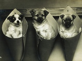 Postcard of Three Puppies Hanging in Containers on the Wall