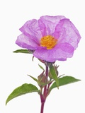 Purple Rock rose