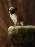 Pug Sitting on Stool