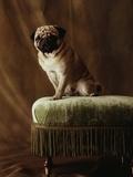 Pug Sitting on Stool