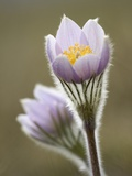 Close-up of Prairie Crocus (Anenome Patens) in Bow Valley Provincial Park  Kananaskis Country  Albe