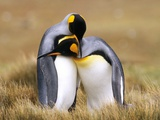 Mating King Penguins (Aptenodytes Patagonicus) Volunteer Point  Falkland Islands  Southern Atlantic