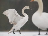 Mute swans in winter