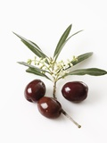 Olive blossoms (Olea europaea) and olives elevated view