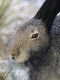 Artic Hare (lepus Articus) in Summer  Churchill Manitoba  Canada