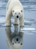Polar Bear on melting ice  Svalbard  Norway