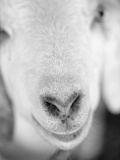 Close Up of Goat's Nose