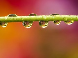 Raindrops on Graden Flower Stem  Canada