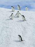 Chinpstrap penguins walking down a snowbank