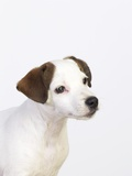 Curious Jack Russell Terrier Puppy