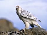 Juvenile Gyrfalcon (Falco Rusticolus)  Ellesmere Island  Nunavaut  Arctic Canada