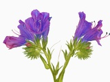 Purple vipers bugloss (echium plantagineum)