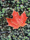 Frost on Autumn Sugar Maple Leaf and Haircap Moss  Muskoka  Ontario  Canada