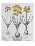 Narcissis Polyanthus