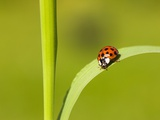 Asian lady beetle on blade of grass