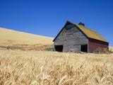 Wheat Crop Growing in Field By Barn