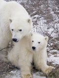 Polar Bear  Ursus Maritimus  Sow and Cub in the Churchill Wildlife Management Area  Hudson Bay  Chu