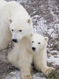 Polar Bear  Ursus Maritimus  Sow and Cub in the Churchill Wildlife Management Area  Hudson Bay  Chu