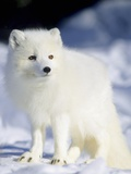 Adult Arctic Fox (Alopex Lagopus) Foraging on the Shoreline  Hudson Bay  Arctic Manitoba  Canada