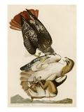 Red-Tailed Hawk Giclée par John James Audubon