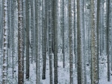 Lodgepole Pine Trees Frosted with Snow