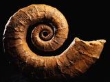 Crioceratite Fossil