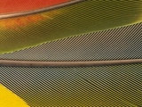 Detail of Scarlet Macaw Feathers