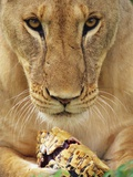 Lioness Eating a Turtle