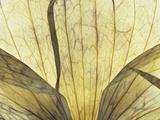 Translucent Petals 9