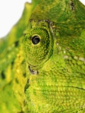 Eyes of a Meller&#39;s Chameleon