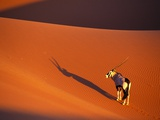 Oryx Antelope on Sossusvlei Sand Dune