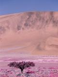 Acacia Tree near a Sand Dune