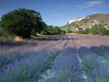 Fields of Lavender in Provence  France