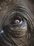 Indian Elephant's Eye
