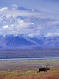 Caribou on Tundra Below Mt McKinley