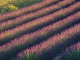 Rows of Lavender Growing in Field