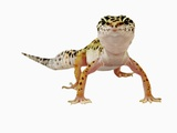 Leopard Gecko